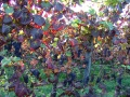 Leafroll red grapes
